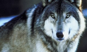 Howling At Climate Change or, Maybe We Should Listen to the Wolves